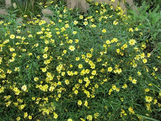 Sunny coreopsis, still in full summer bloom